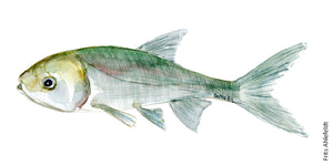 Silver carp ( karpe) Freshwater fish watercolor by Frits Ahlefeldt