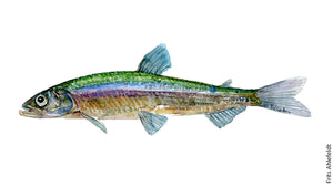 Smelt ( helting) Freshwater fish watercolor by Frits Ahlefeldt