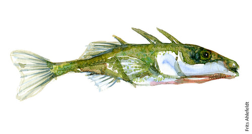 Stickleback ( trepigget hundestejle) Freshwater fish watercolor by Frits Ahlefeldt