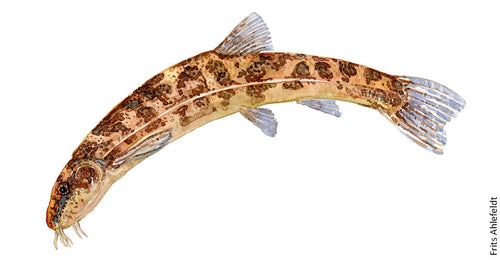 stone loach ( smerling) Freshwater fish watercolor by Frits Ahlefeldt