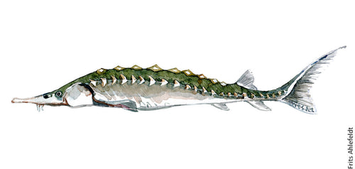 European Sturgeon ( Stør) Freshwater fish watercolor by Frits Ahlefeldt