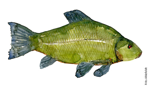 Tench ( suder) Freshwater fish watercolor by Frits Ahlefeldt