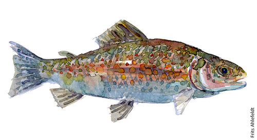 Brown trout ( forelle, ørred ) Freshwater fish watercolor by Frits Ahlefeldt