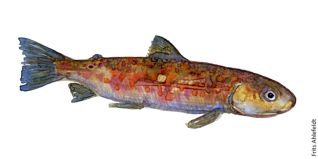 Young Trout ( forelle, orred) Freshwater fish watercolor by Frits Ahlefeldt