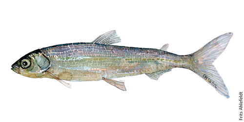 Cisco ( helting) Freshwater fish watercolor by Frits Ahlefeldt