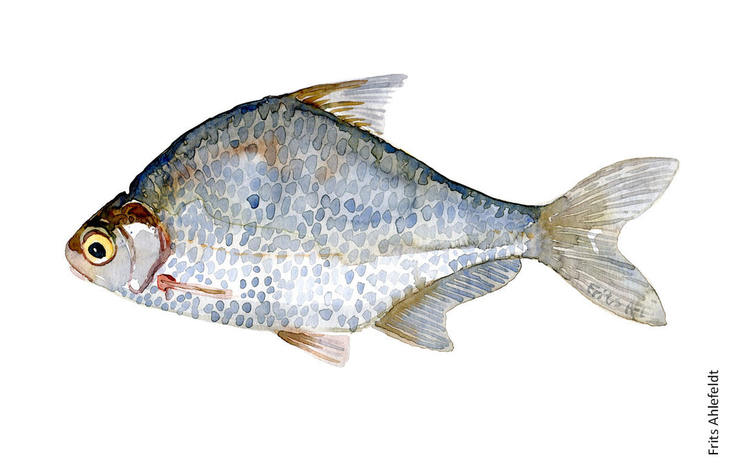 White bream (flire) Freshwater fish watercolor by Frits Ahlefeldt