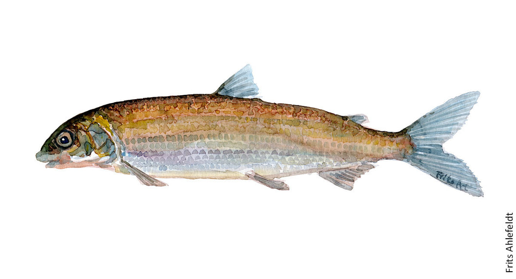 Whitefish ( helt) Freshwater fish watercolor by Frits Ahlefeldt