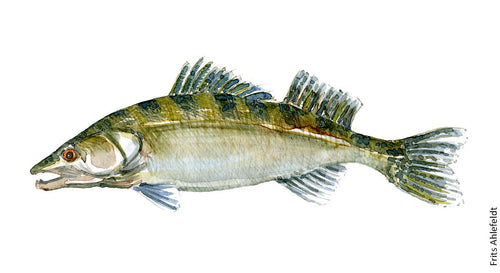 Dw00014 Download Zander Freshwater fish watercolor