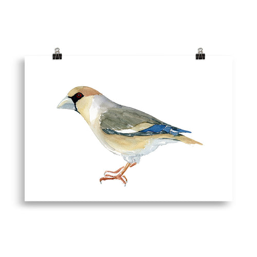 Hawfinch bird art print