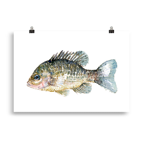 Pumkinseed Sunfish Watercolor Art print