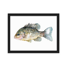 Load image into Gallery viewer, Pumkinseed Sunfish Framed watercolor art print
