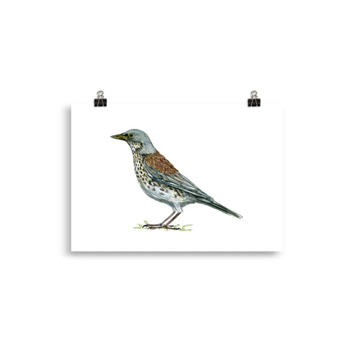 Fieldfare bird art print