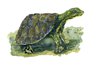 Original Scared turtle Watercolor