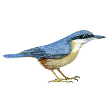 Load image into Gallery viewer, Eurpean nuthatch bird watercolor frits ahlefeldt