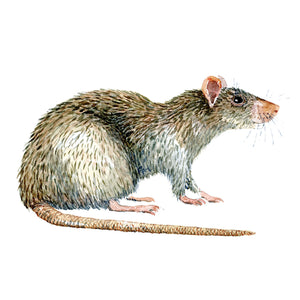 Brown rat watercolor by Frits Ahlefeldt, Brun rotte