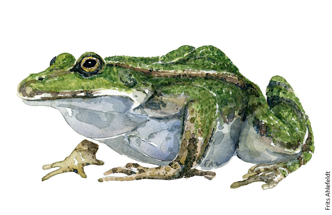 -edible frog watercolor by Frits Ahlefeldt