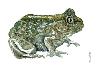 Common spade foot toad watercolor by Frits Ahlefeldt