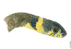 Watercolour painting of Grass snake head. ( Snog) By Frits Ahlefeldt