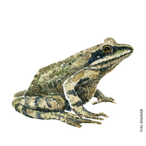 Common moor frog watercolor by Frits Ahlefeldt