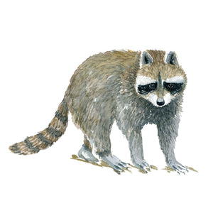 watercolor of Raccoon, ( vaskebjørn - procyon lotor) by Frits Ahlefeldt