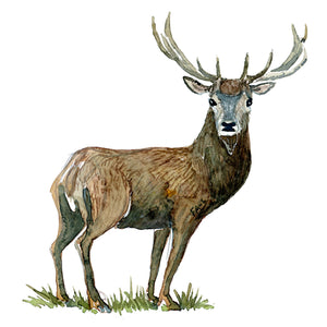 watercolor of red deer, ( kronhjort, cervus elaphus) by Frits Ahlefeldt