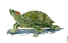 Load image into Gallery viewer, Watercolor of Red Eared Slider Turtle ( Terrapin) Biodiversity painting by Frits Ahlefeldt