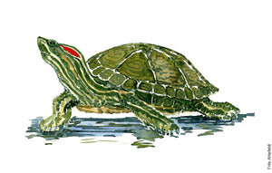 Watercolor of Red Eared Slider Turtle ( Terrapin) Biodiversity painting by Frits Ahlefeldt