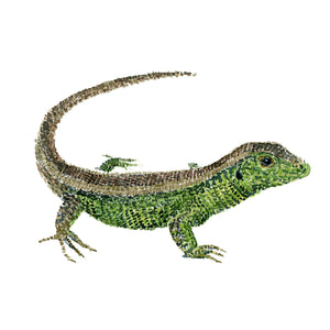 Watercolor of Sand Lizard. ( markfirben)  By Frits Ahlefeldt