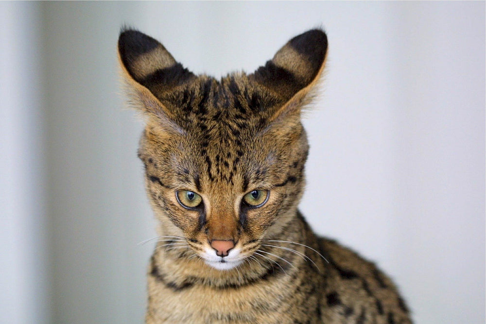 Savannah Cat - A Beautifully Elegant Cross