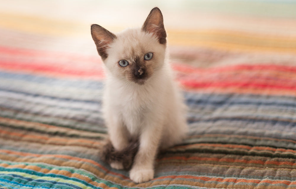 Siamese - Mysterious Genetics of the Feline Royal