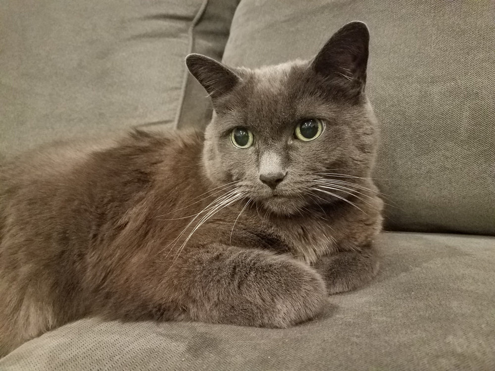 Basepaws Cat Story: The Russian Blue Misha