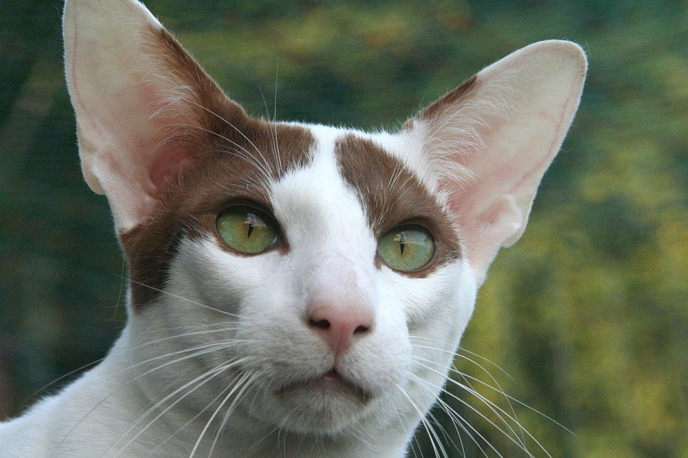 Peterbald - A Charmingly Fur-less Breed