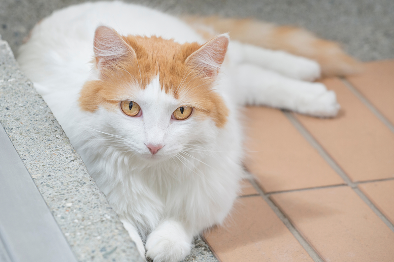 The Turkish Van – The Rare and Ancient