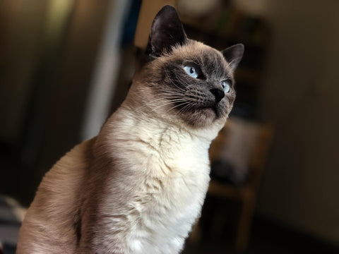 The Traditional Eastern Siamese – The Thai Siamese