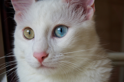 The Turkish Angora - Silky and Serene