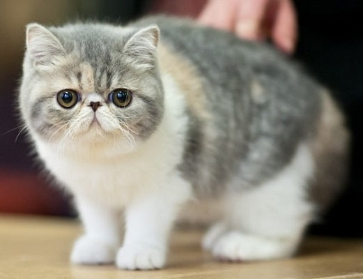 Short gray and white dwarf cat with flat face