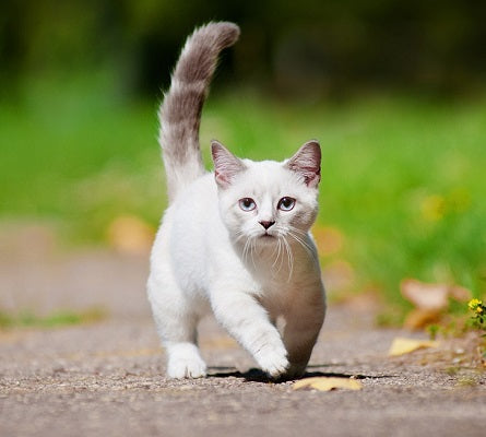 Short white cat running up the road