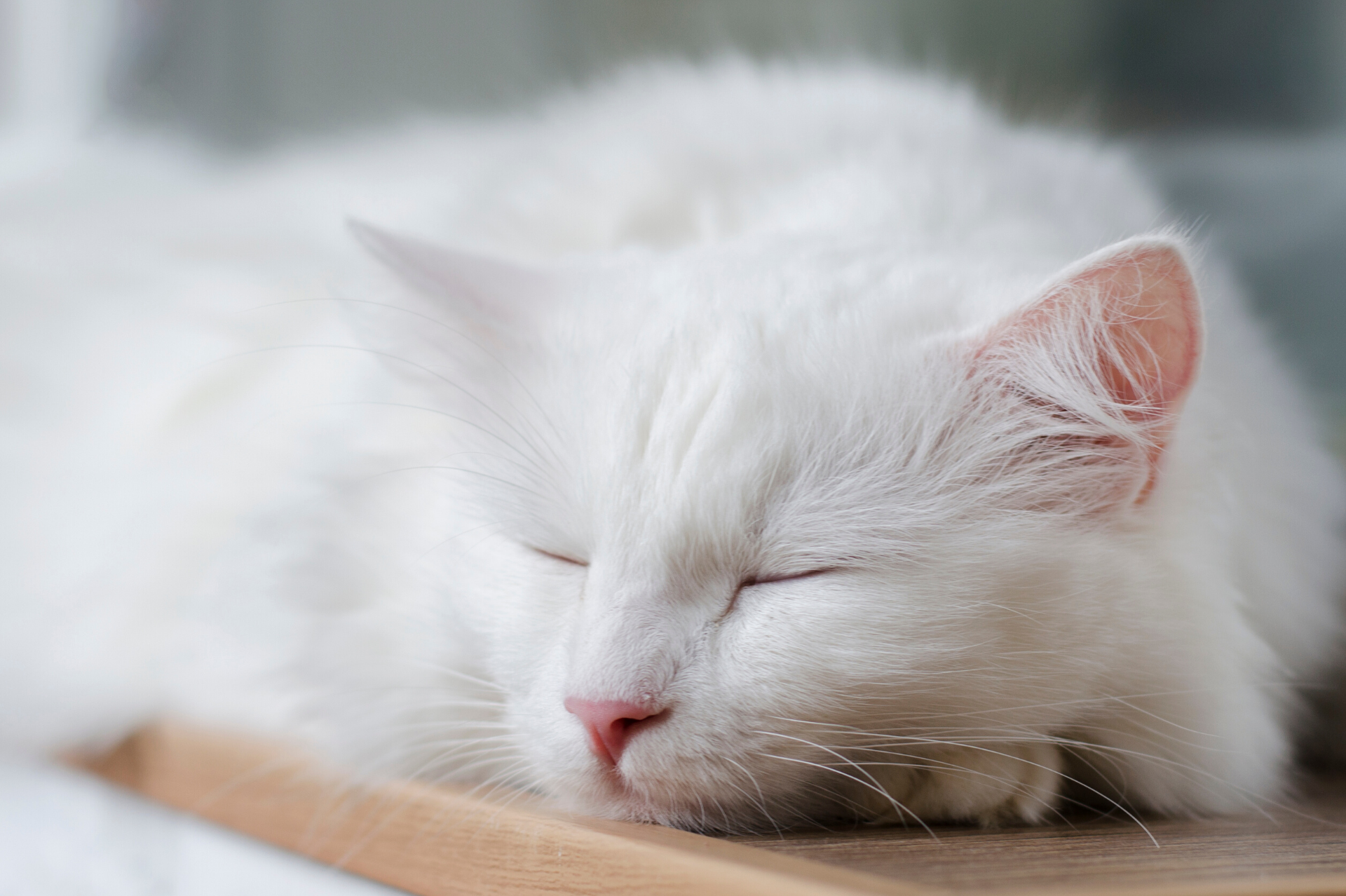 A sleeping white Turkish Angora