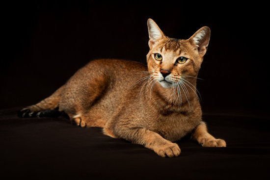 Chausie cat laying down on black background