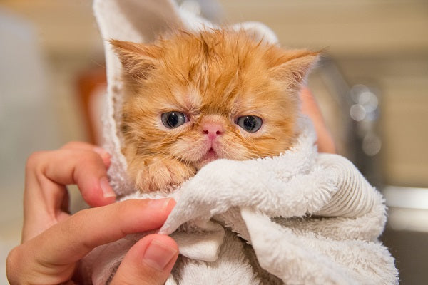 An orange persian tabby kitten wet and wrapped in a white towel