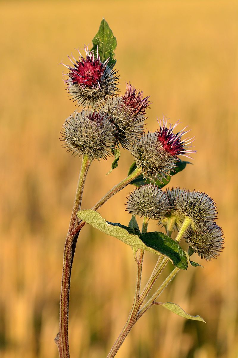 Burdock Root | Woash Wellness