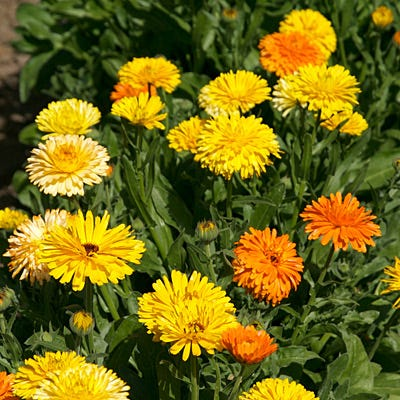 Calendula | Woash Wellness