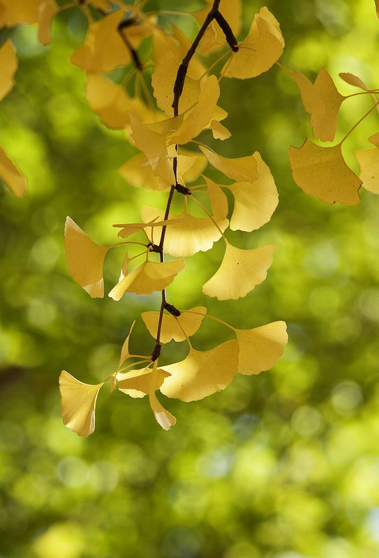 Ginkgo | Woash Wellness