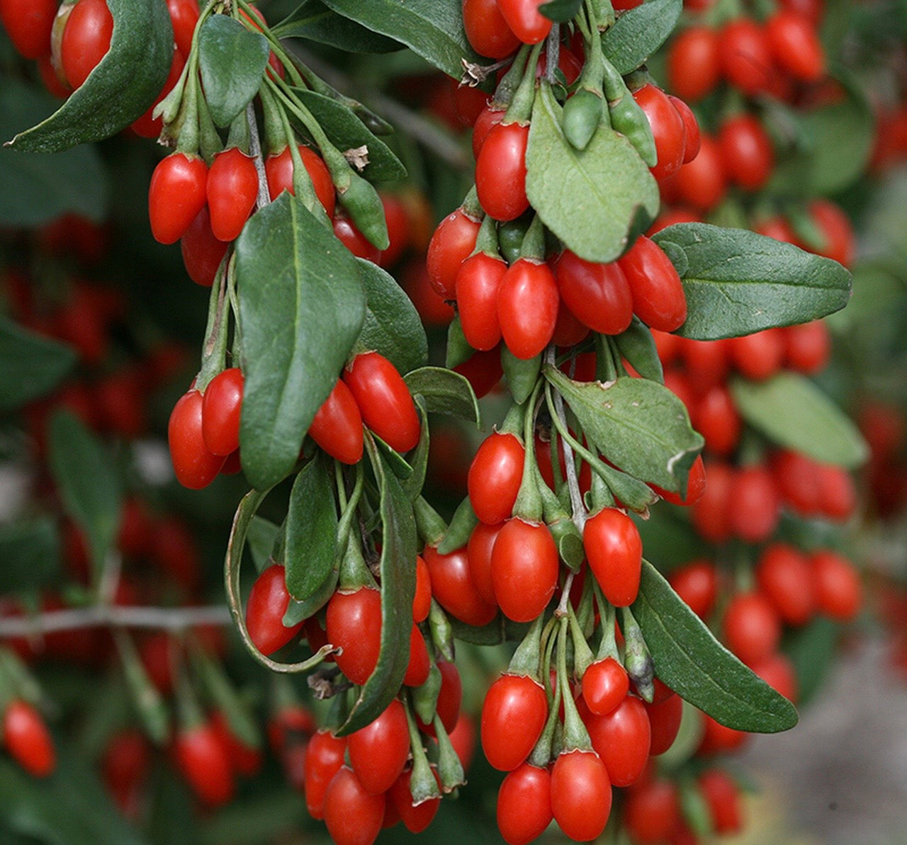 Goji Berries | Woash Wellness
