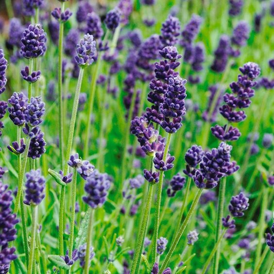 Lavendar | Woash Wellness