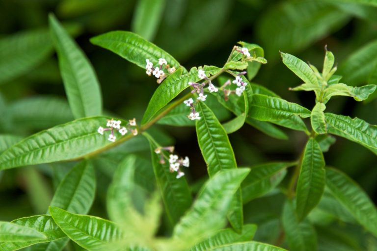 Lemon Verbena | Woash Wellness