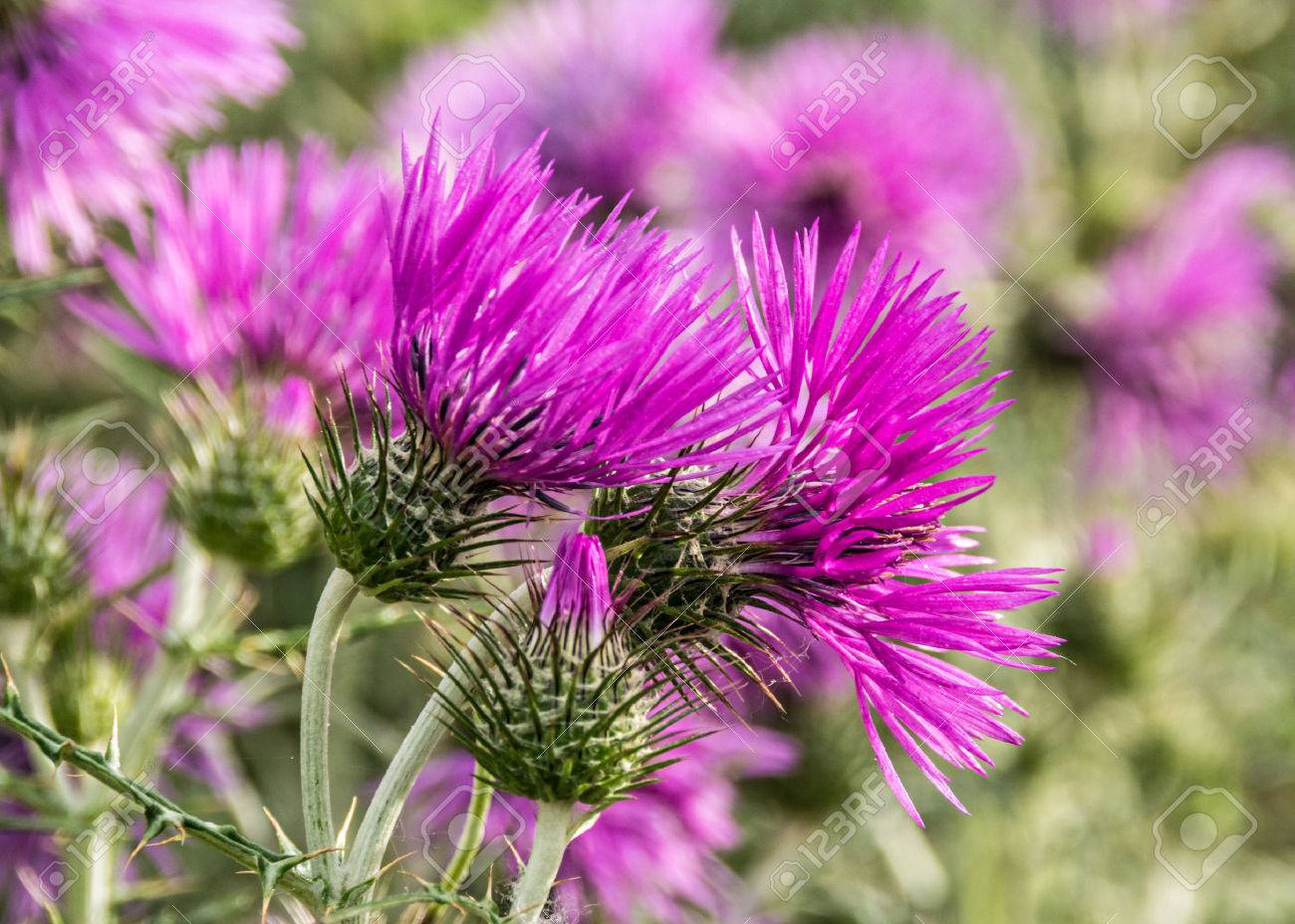 Milk Thistle | Woash Wellness