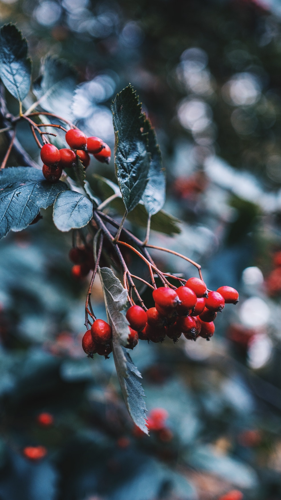 Rosehips | Woash Wellness