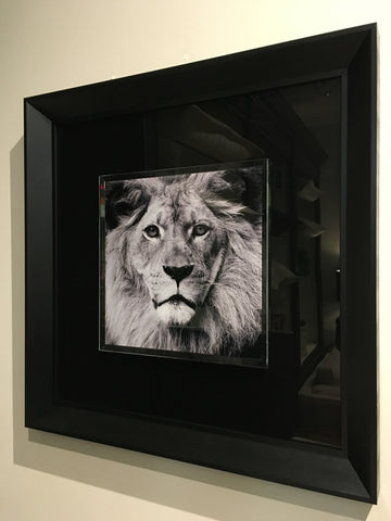 """Lion"" tempered glass photography - IN STORE CLOSING DOWN CLEARANCE now $149 !"