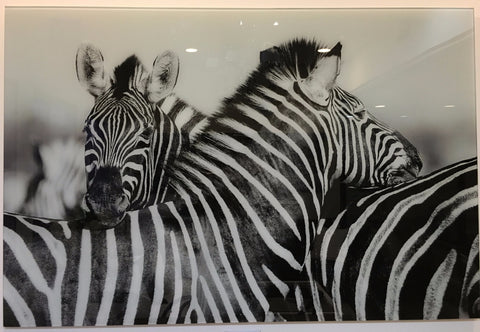 """Two zebra"" tempered glass photography - IN STORE CLOSING DOWN CLEARANCE now $250 !"